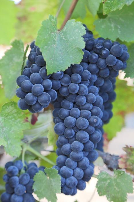 grapes-921467_1920