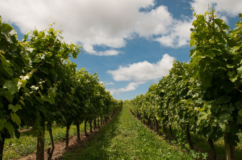 vineyard-440343_1920