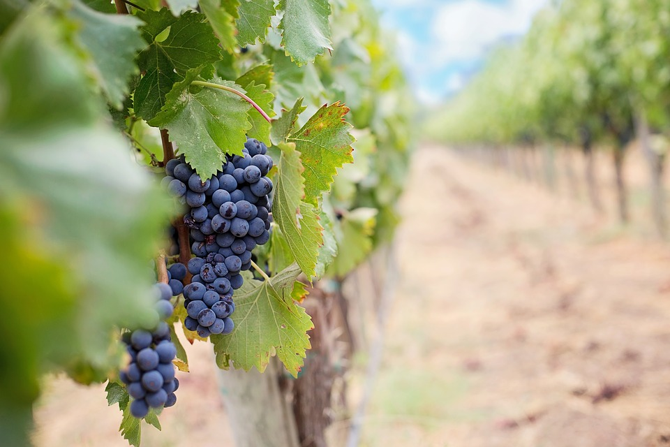 grapes-1952035_960_720